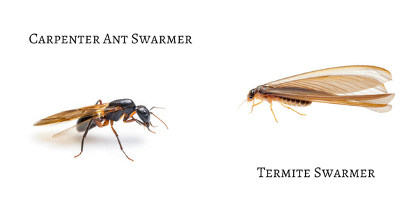 Carpenter-Ant-Swarmer.png